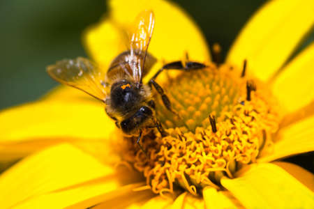 mellifera: Honey-bee or Apis mellifera busy gathering nectar and pollen on yellow flowers in summer