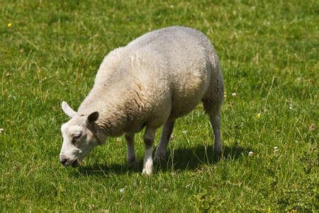 White sheep grazing on field in summersun - horizontal photo