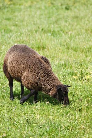 Brown Schafe grasen auf dem Feld in summersun - vertikal Standard-Bild - 10120967