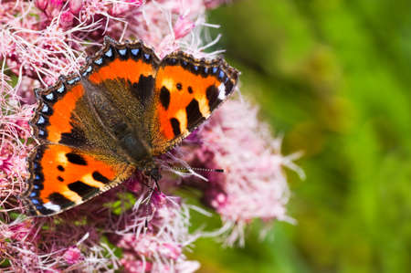 Small tortoiseshell or Aglais urticae on Gravel root in summer photo