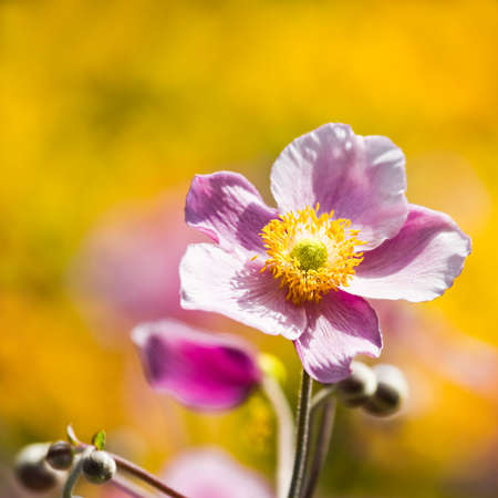 Pink Japanese Anemone or Anemone japonica flower blooming in summer with background of yellow flowers - square image. photo