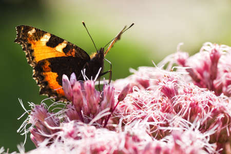 nymphalis: Backlight image of Small tortoiseshell or Aglais urticae on Gravel root in summer