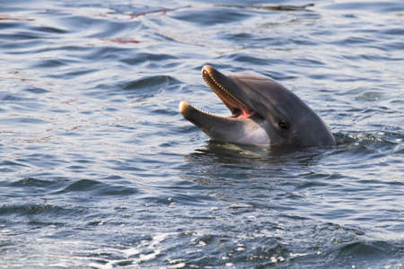 porpoise: Head of Bottlenose dolphin or Tursiops truncatus above the water surface Stock Photo