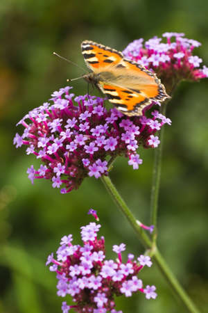 Small tortoiseshell or Aglais urticae on purple Verbena in summer