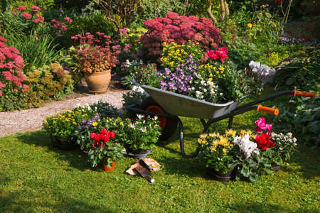 chrysanthemums: Wheelbarrow and trays with new plants - preparing for planting new plants in the garden on early September morning Stock Photo