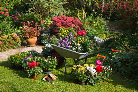 weeding: Wheelbarrow and trays with new plants - preparing for planting new plants in the garden on early September morning Stock Photo