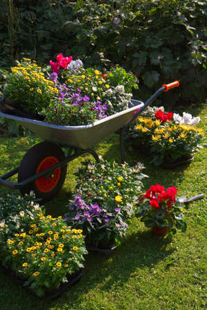 carretilla: Carretilla y bandejas con nuevas plantas - preparación para plantar nuevas plantas en el jardín en la mañana de septiembre