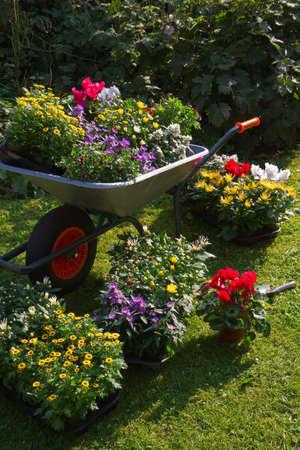 schubkarre: Schubkarre und Tabletts mit neuen Pflanzen - Vorbereitung zum Anpflanzen neuer Pflanzen im Garten auf Anfang September am Morgen