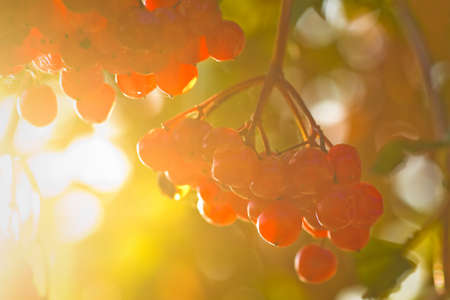 guelder: Red berries on Guelder Rose, also called Water Elder, European Cranberrybush, Cramp Bark or Snowball Tree in autumn sunshine