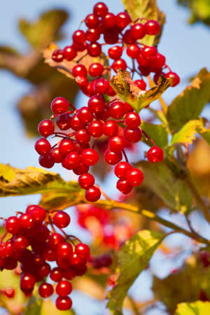 elder tree: Red berries on Guelder Rose, also called Water Elder, European Cranberrybush, Cramp Bark or Snowball Tree in autumn sunshine with blue sky Stock Photo