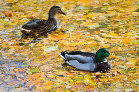 dabbling: Couple Mallards or Wild Ducks in autumn swimming between yellow fallen leaves