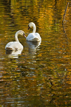 mute swan: White mute swans swimming in colorful reflection of autumn trees Stock Photo