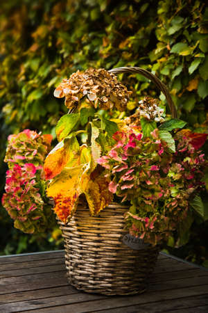 Autumn garden - basket with colorful Hortensia or Hydrangea on a table photo