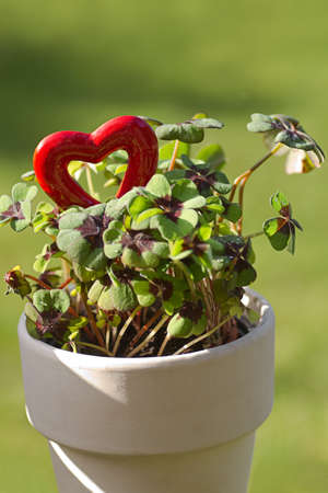 red clover: Four leaf clover with a red heart for Valentine or St, Patricks day - vertical