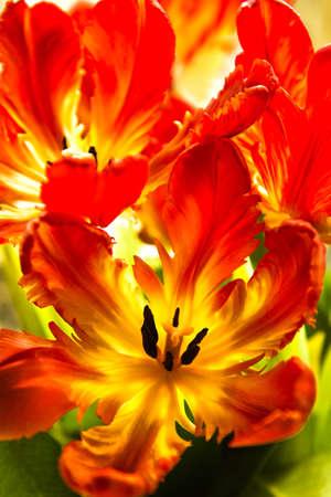 Parkiet tulpen - grappig lentebloemen met verstoorde en verdraaide bloemblaadjes in heldere kleuren - verticaal beeld Stockfoto