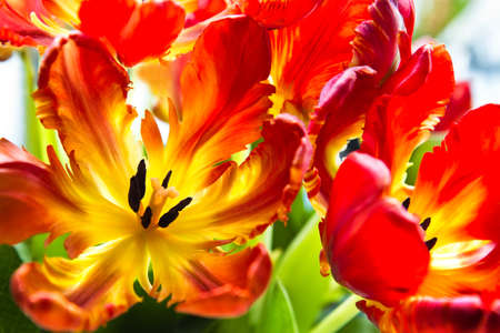 Parrot tulips - funny spring flowers with ruffled and twisted petals in bright colors - horizontal image