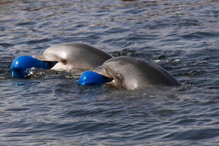 Two Bottlenose dolphins or Tursiops truncatus having fun playing in the water photo