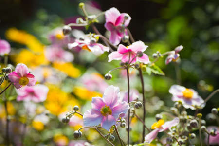 Pink Japanese Anemone or Anemone japonica flowers blooming in summer with background of yellow flowers - horizontal photo