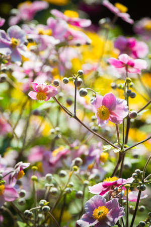 Pink Japanese Anemone or Anemone japonica flowers blooming in summer with background of yellow flowers - vertical Stock Photo