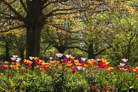 Colorful tulips and old red leaf beechtree in park in spring Stock Photo - 13523460