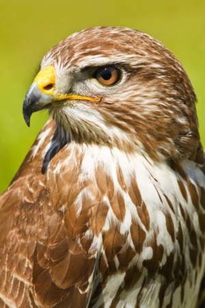 of prey: Ferruginous hawk or Butea regalis in side angle view Stock Photo