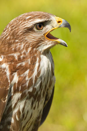 Ferruginous hawk or Butea regalis in side angle view screaming photo