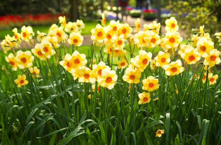 Yellow and orange daffodils blooming in park in spring