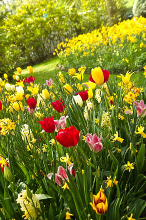 bulb tulip: Tulips and daffodils in lots of colors arrangement  in park in spring