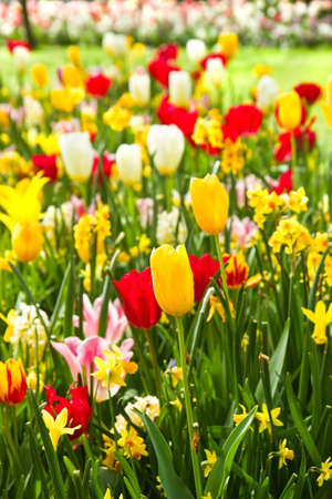 bulb tulip: Tulips and daffodils in lots of colors in park in spring Stock Photo