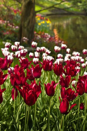 Burgundy red and white tulips in spring at the waterside photo