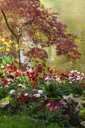 flowering plant: Gerbera flowers blooming at the waterside in spring