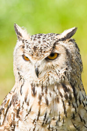 Siberian Eagle Owl or Bubo bubo sibericus - Eagle owl with lighter colored feathers   photo