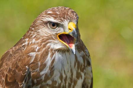 ferruginous: Ferruginous hawk or Butea regalis screaming Stock Photo