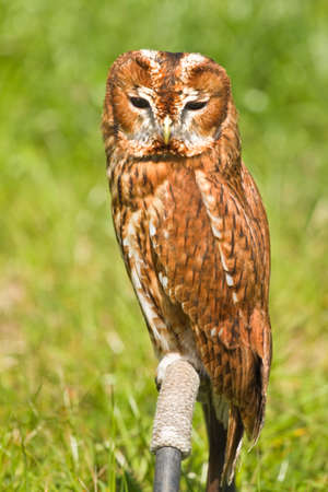 tawny owl: Eurasian Tawny Owl or Strix aluco in captivity sitting on perch