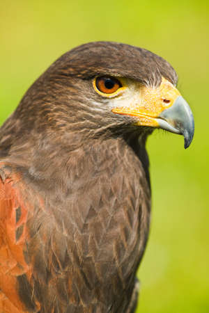 of prey: Head of Harris Hawk or Parabuteo unicinctus in side angle view - also called Dusty- or Baywinged hawk