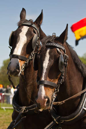 blinkers: Two dark brown draught-horses with blinkers for couch on sunny day at festival Stock Photo