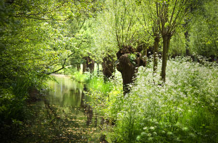 willow trees: Spring in white and green with blooming Cow Parsley flowers and pollard-willows at the waterside
