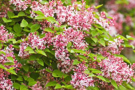 syringa: Tiny fragrant pink Syringa microphylla flowers blooming in the garden in spring and late summer