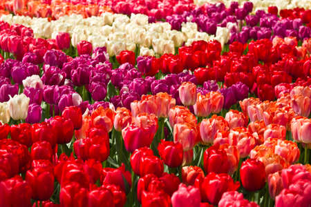 Tulips in spring background in red, purple, pink and white Stock Photo - 13585798