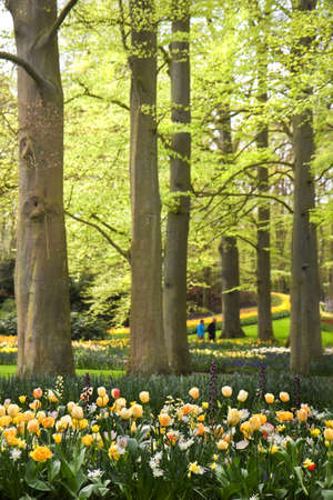 beech tree beech: Park with tulips, daffodils and Frittilaria spring flowers under old beechtrees