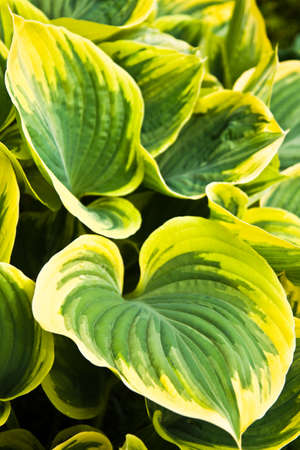 Big Hosta or Funkia leaves in spring garden Stock Photo - 13585785