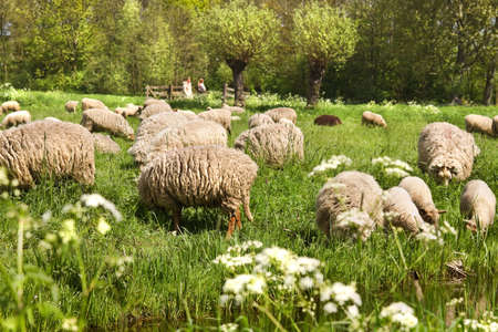 Country walk in spring and meadows with flowering Gravelroot and flock of sheep photo