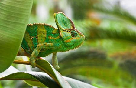 changing colors: Green Jemenchameleon or Chamaelio calyptratus climbing a tree