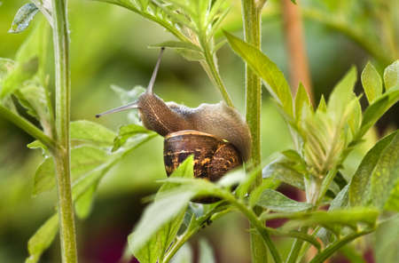 damaging: Snail eating from leaves and damaging a plant on early morning in spring