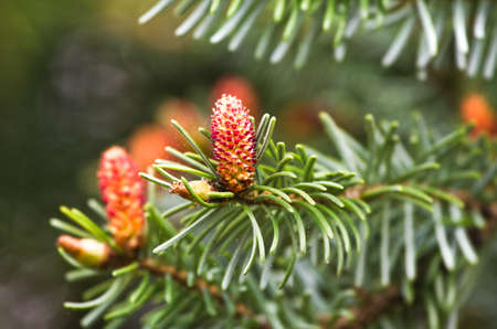 picea: Flowers in spring on christmas tree, Spruce or Picea abies Stock Photo