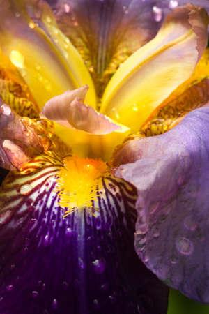 Purple German Iris or Iris germanica macro with raindrops  Stock Photo