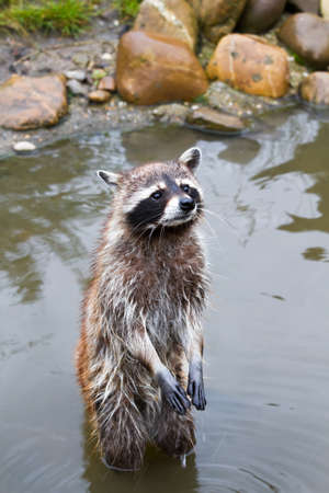 coons: Common raccoon or Procyon lotor standing in water