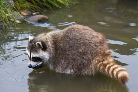 raccoons: Common raccoon or Procyon lotor searching for food in water