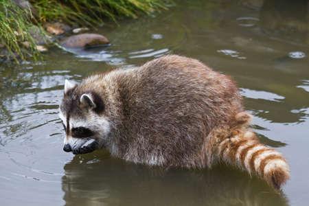 Vaak wasbeer of Procyon lotor op zoek naar voedsel in het water