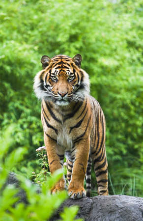 Asian- or bengal tiger standing with bamboo bushes in background photo